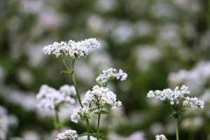 Buchweizenkraut weiße Blüte