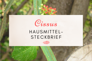 Bild der Cissus Pflanze.